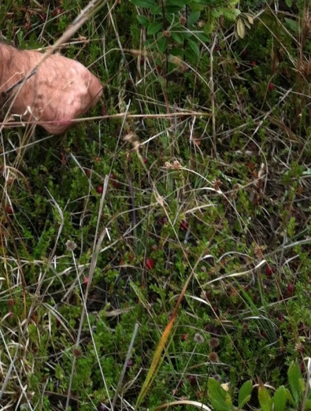 Cranberries at Walking Dunes from viviloveith.com